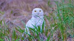 Snowy Owl - Duxbury - 5-18-18-9 (McDonaldMorgans) Tags: duxburybeach gurnetroad snowyowl willet commoneider mourningdove