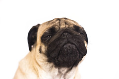 The pug dog cry and looks with sad big eyes. (yannamelissa) Tags: cute dog sad directly pug white isolated portrait animal small greeting funny celebrate present pet emotion friend canine breed puppy sadness doggy sorrow melancholy sitting big macro face headshot domestic beige petulant crying eye expression adorable friendship serious facial thinking purebred depression pedigreed question curiosity wrinkle snout hound asking pleading