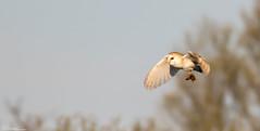 Barn Owl and prey (Steve (Hooky) Waddingham) Tags: bird british barn countryside nature wild wildlife prey photography