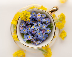 My Cup Runneth Over (LadyBMerritt) Tags: teacup flowers forgetmenots alyssum yellow blue mauve macro