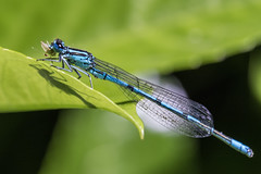 Blue Coenagrion (Adrià Páez) Tags: damselfly blue coenagrion insect nature bug wings plant macro 60mm canon eos 7d mark ii animal leaf leaves