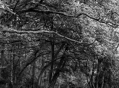 Tree Canopy (Hyons Wood) (Jonathan Carr) Tags: ancient woodland trees black white bw mediumformat rural northeast landscape acros ddx mamiya