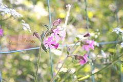 Spring flowers (4) ({rebecca.evans}) Tags: spring flowers flower nature natureycrap 50mm soft pastel florabella bokeh