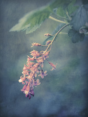 Portrait of a Flowering Red Currant (shawn~white) Tags: 100mm ribessanguineum aqua beauty blue charm dreamy floral flower floweringredcurrant garden nostalgia pink retro romantic texture vintage