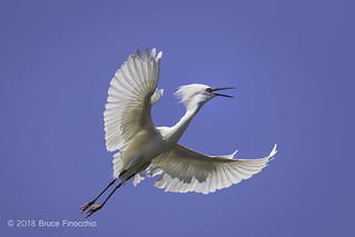 Snowy Egret Calls Out As Its Wings Spread Out For Flight