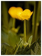 Le réveil du bouton dort (Jean-Marie Lison) Tags: eos80d sigma105mm fleur boutondor jaune macro bruxelles anderlecht parastrid