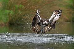 Osprey 7 (dcweather) Tags: ospreys birdsofprey raptors nikond500 nikon300mmf4epfedvr nikon dramaticimages watersplash