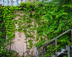 Take a Right at the Stairs (augphoto) Tags: augphotoimagery abandoned brick building exterior green leaves old overgrown overgrowth texture vines weathered prosperity southcarolina unitedstates