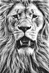 Mähne. (marfis75) Tags: porträt gesicht face cat katze hair haar haarig hairy lang mähne hasr marfis75 animal royal königlich könig king tier löwe lion