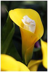 馬蹄蘭   Calla Lilies (Alice 2018) Tags: flower yellow bokeh hongkong 2018 canon efmount spring orange canoneos7d white eos7d canonef70200mmf28lisusm
