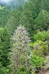 forest (Hideki Iba) Tags: woods kyoto japan nihon nippon nikon d850 2470 nature flower purple green