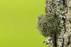 Lichen on Tree 2 (fingerprints1148) Tags: tree lichen green spring bark outdoors canon6d