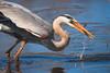 Blue Heron Feeding (Bryan O'Toole) Tags: greatblueheron heron wildlife whitefishisland saultstemarie ontario northernontario canada algoma nikon nikond810 nikonafs200400mmf4vr marsh feeding cropped