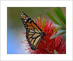 Monarch (Danaus plexippus) (prendergasttony) Tags: danausplexippus tonyprendergast nikon d7200 florida america wildlife nature monarch