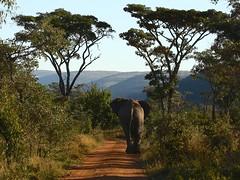 elephant in Waterberg (peet-astn) Tags: welgevondengamereserve welgevonden gamereserve elephant autumn trees hills limpopo southafrica waterberg lane track dust road