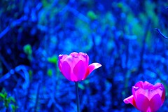 Twins. (Photolove2017) Tags: tulips victoria festival nikondx d3100 red green blue tiaphoto photolove2017 photolove2018 nature flowers bokeh plant