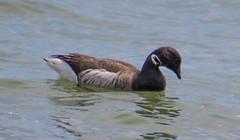 7K8A3217 (rpealit) Tags: scenery wildlife nature barnegat lighthouse state park brant goose bird