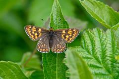 Duke of Burgundy (Artisanart) Tags: duke of burgundy butterfly lepidoptera kithurst south downs national park