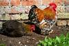 Not the best place to put your head! (Gemma Hampton) Tags: rooster chicken farm uk norfolk felbrigg farming bird cockerel