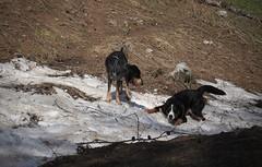 Nasco et Boum (bulbocode909) Tags: valais suisse chiens neige nature montagnes printemps ovronnaz