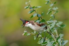 Red-whiskered Bulbul (Pycnonotus jocosus) (SharifUddin59) Tags: pycnonotusjocosus redwhiskeredbulbul bulbul bird animal pearlharborwildliferefuge pearlharbornwr ewabeach oahu hawaii