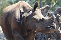 DSC_8026 (Andrew Nakamura) Tags: mammal rhinoceros rhino indianrhino greateronehornedrhinoceros
