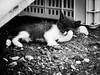 3750 - Bruto (Diego Rosato) Tags: bruto cat gatto kitten gattino animale animal pet fuji x30 rawtherapee bianconero blackwhite washing lavarsi