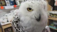 Elsa,the snowy owl (billnbenj) Tags: barrow cumbria owl raptor birdofprey snowyowl video