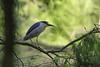 Bihoreau gris (Nycticorax nycticorax - Black-crowned Night Heron) (Philippe Renauld) Tags: bihoreau gris nycticorax blackcrowned night heron grépiac occitanie france fr