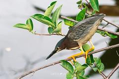 Green Heron (Butorides virescens) (emiliechenphotography) Tags: wakodahatcheewetlands florida spring 2018 bird greenheron butoridesvirescens