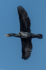 Double-crested Cormorant [Phalacrocorax auritus] in flight (Fred Roe) Tags: nikond7100 nikkorafs80400mmf4556ged nikonafsteleconvertertc14eii nature wildlife birds birding birdwatching birdwatcher birdinflight cormorant doublecrestedcormorant phalacrocoraxauritus peacevalleypark