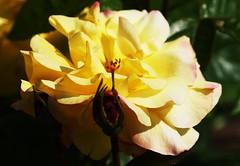 DSC_9984 (PeaTJay) Tags: nikond750 sigma reading lowerearley berkshire macro micro closeups gardens outdoors nature flora fauna plants flowers rose roses rosebuds