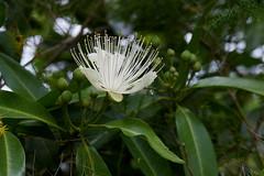 Capparis arborea (Tatters ✾) Tags: australia flower whiteflowers whitearfflowers flickronly capparisarborea capparis capparaceae arfflowers arfp nswrfp qrfp dryarf subtropicalarf littoralarf