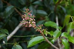 Rhodosphaera rhodanthema (Deep Yellow Wood) (Tatters ✾) Tags: australia flowers pinkflowers pinkarfflowers flickronly rhodosphaerarhodanthema rhodosphaera anacardiaceae qrfp arfflowers arfp nswrfp dryarf deepyellowwood
