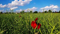 Vörös pipacsok a szántóföldön (Balogunyom) (milankalman) Tags: flower poppy red field green countryside nature summer