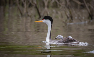 The taxi ride. Clarks Grebe (Aechmophorus clarkii) The tease is complete (for the grebes) ....