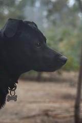 Fela (photo du chaleins) Tags: nikon nikonista nikon3400 zenit zenit28mm photo photography fotografia foto dog perro amigo mascota felakuti animal outdoor noedit sineditar retrato primerplano portrait chile viñadelmar