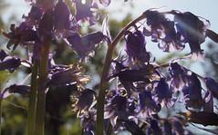 2018_05_0420 (petermit2) Tags: hodsockpriory hodsock priory blyth nottinghamshire bluebells bluebell garden gardens