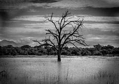 Udawalawe National Park,Sri Lanka (Just Ron ;)) Tags: tree blackwhite imageron nikon travel nature srilanka
