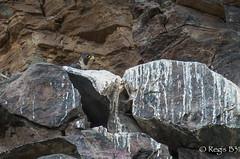 Il niche...Trahi par sa peinture ;-) (Régis B 31) Tags: falcoperegrinus falconidés falconiformes fauconpèlerin lebatut murols peregrinefalcon bird oiseau aveyron rapaces