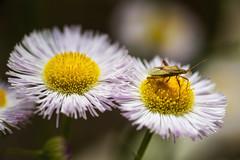 (Modkuse) Tags: macro macrophotography macrolens macroflowers macroinsects nikon nikondslr nikond700 105mmf28nikkormacro nikon105mmf28macronikkor wildflowers flower flowers