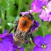 Tree Bumblebee ... Bombus hypnorum (AndyorDij) Tags: bombushypnorum treebumblebee bumblebee bee insects aubrieta england empingham rutland uk unitedkingdom andrewdejardin spring 2018