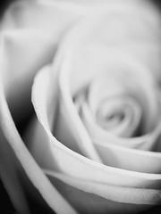 Rosa B&N (Gargomo ( José Luis )) Tags: epl3 mzd30mm macro rosas santjordi bn blancoynegro elpratdellobregat flora