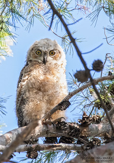 _45A9259 - Great Horned Owlet ©Dancing Snake Nature Photography