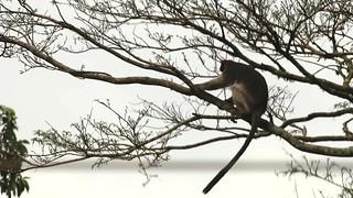 Uganda red colobus, Kibale Forest National Park, Uganda