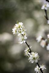 Blackthorn, Prunus spinosa. (digital defect) Tags: helios 582442 blackthornprunusspinosa bokehlicious