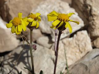 hoary groundsel, Packera werneriifolia