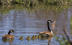 First day on the water.... (stevebfotos) Tags: canadageese canary creek lewes delaware goose deedles