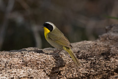 Common Yellowthroat Warbler (grobinette) Tags: commonyellowthroatwarbler warbler neotropical huntleymeadowspark huntleymeadows