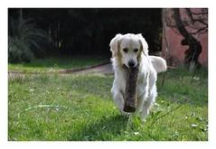 Album Chiens Clients Janvier-Avril 2018 (19) (Dalmatien-Golden-Braque) Tags: dalmatien goldenretriever braquedeweimar chien carcassonne elevage eleveur animaux dog breader